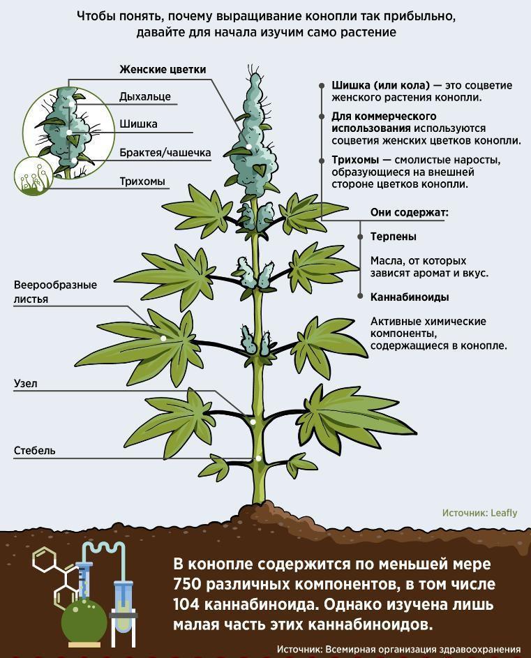 Для чего нужны листья конопли конопля где разрешена